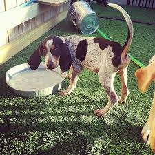 bluetick coonhound owners 22 best doggy stuff images on pinterest