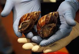 ag chief adam putnam says florida u0027s giant snail u0027carries human