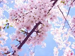 cherry blossom wallpaper high resolution 5dqah ahuhah com clip