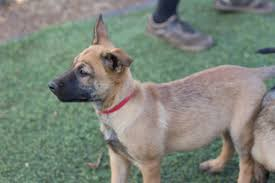 belgian shepherd usa belgian malinois puppies and dogs for sale in usa