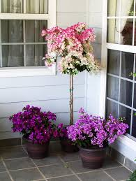 Bougainvillea Topiary - design experts together with hines growers share the three p u0027s