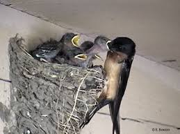 Barn Swallow Nest Pictures Examples Of Nest And Eggs How Tos