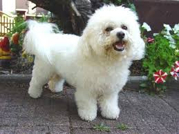 bichon frise long hair top hypoallergenic dogs the most suitable breeds