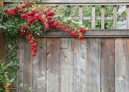 pyracantha plant climbing on and over a redwood fence with red