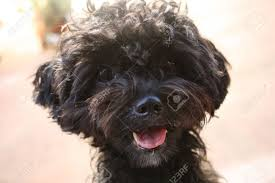 shi poo black shih poo puppy portrait stock photo picture and royalty free