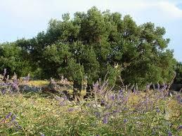 olive tree u2013 mysterious croatia