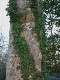 evergreen ivy forest garden