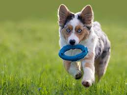 running with australian shepherd puppy how to choose the best dog names