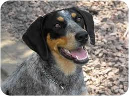bluetick coonhound kennels in pa tess adopted puppy owingsville ky bluetick coonhound mix