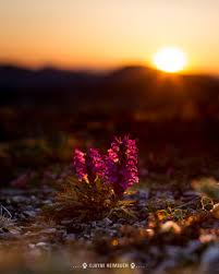 the surprising beauty of alaska u0027s tundra flowers mnn mother