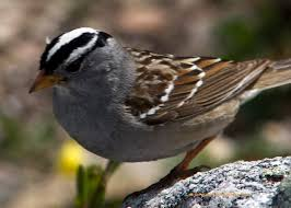 white crowned sparrow birds in my yard pinterest bird and