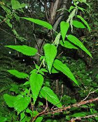 Ssp Flags Urtica Dioica Ssp Sondenii Barents Flora
