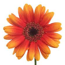 gerbera daisies orange mini gerbera daisies