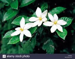 common gardenia cape jasmine flower yaizu shizuoka japan