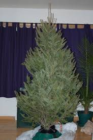 caring for a live christmas tree in your home christmas tree care
