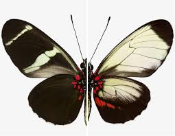 researcher uses gene editing to unveil butterfly biodiversity gw