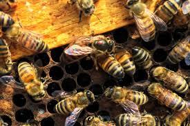 Seeking Blood Varroa Mite Seeking A Taste Of Royal Blood Honey Bee Suite