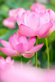 72 best lotus flower images on pinterest lotus flower water