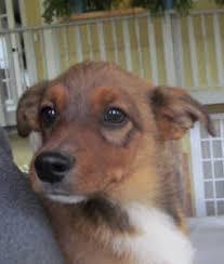 australian shepherd quesnel australian shepherd kelpie x blue heeler dogs u0026 puppies for