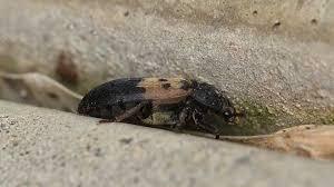 Biscuit Beetle In Bedroom How To Get Rid Of Larder Beetles In The House