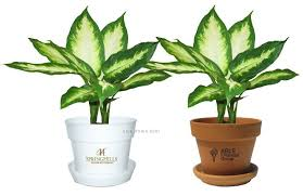 tropical plant dieffenbachia camille in pot china wholesale