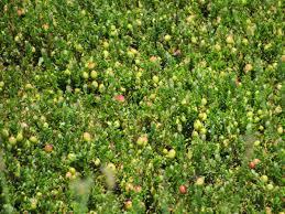 annie u0027s crannies massachusetts cranberries
