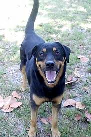 10 dog breeds that are prone to cancer rottweiler rottweilers