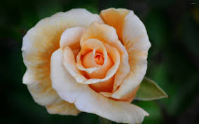 pale orange roses wallpaper flower wallpapers 40596