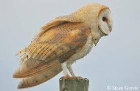 Barn Owl Sounds Barn Owl
