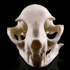 cat skeleton veterinary ebay