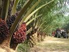 วิธีการปลูกปาล์มน้ำมัน | พีซี เกษตร เซ็นทรัล