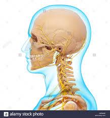 Nervous System Concept Map Peripheral Nervous System Stock Photos U0026 Peripheral Nervous System