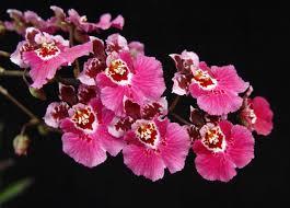 oncidium orchid equitant oncidium care