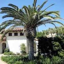 buy canary island date palm from ty ty nursery