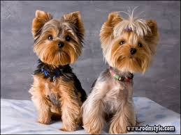yorkie hairstyles photo gallery yorkie haircuts styles pictures 1 rod n style