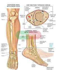 Foot Anatomy Nerves 38 Best Drop Foot Images On Pinterest Foot Drop Physical
