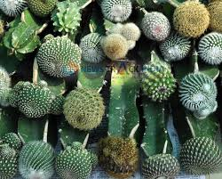 an ornamental species of cactus plant