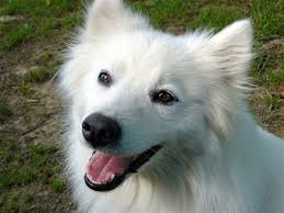 american eskimo dog for sale in hyderabad 10 best my style images on pinterest