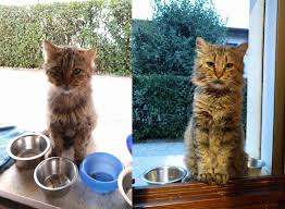 six months of good food and cuddles transformed this stray cat
