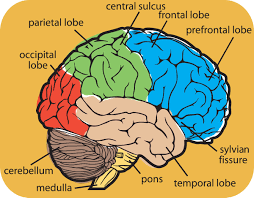 Map With Labels Human Brain With Labels Human Anatomy Chart