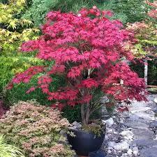 bloodgood japanese maple part shade h 12 15 w 12 15