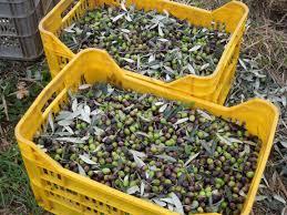 cassette per raccolta olive olive olio all ombra cerro