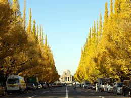 guidebook 3 recommended places to see golden ginkgo trees tunnels