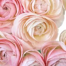 Ranunculus Pink Designer Japanese Ranunculus Flower