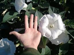 moon flowers growing datura moonflowers dengarden