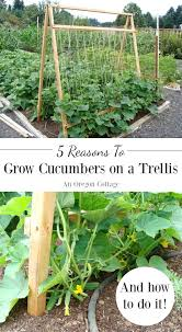 Trellis For Cucumbers In Pots Five Reasons To Grow Cucumbers On A Trellis And Taking Up Less