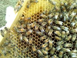 reasons for hive inspections keeping backyard bees