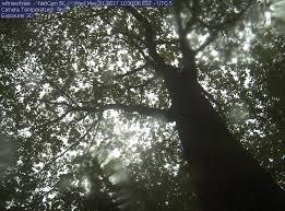 witness tree lynda v mapes website