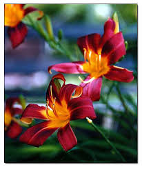 Purple Lillies Purple And Orange Lily Flowers Picture