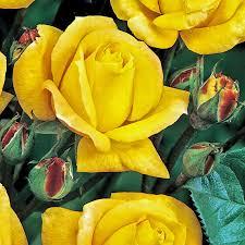 climbing roses buy climbing roses online